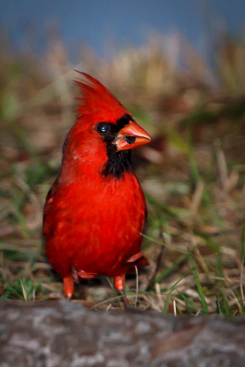cardinalis-cardinalis