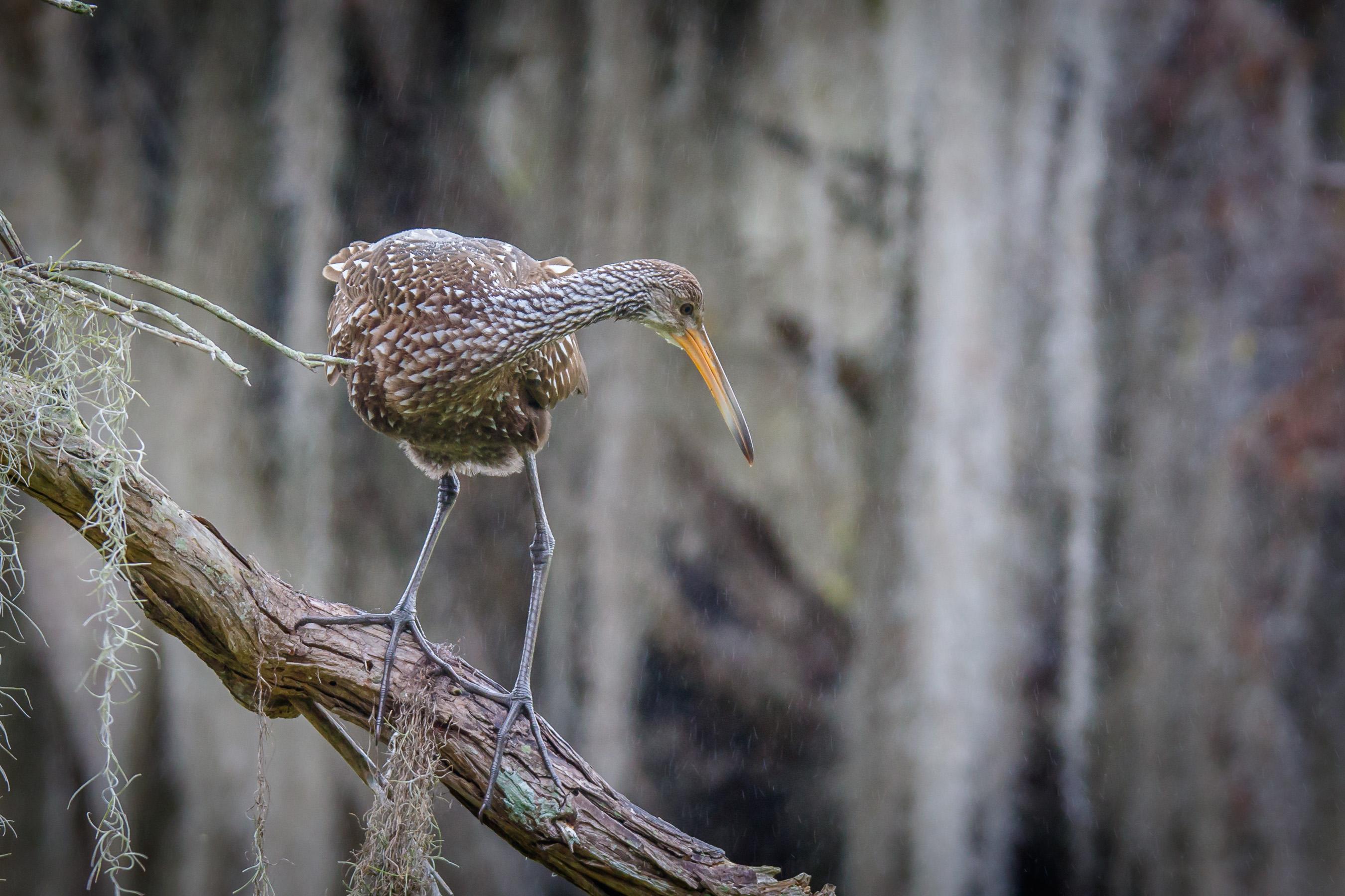 Limpkin on a Stick