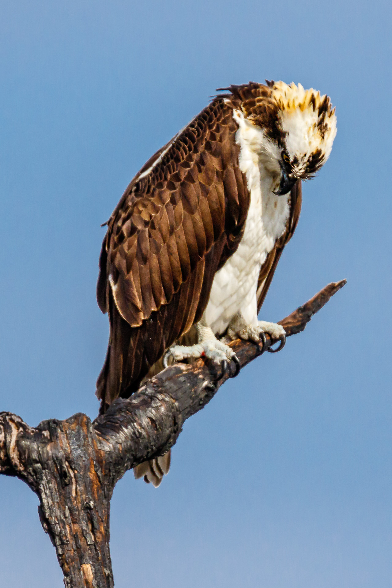 Osprey Bowing His Head