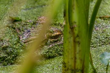 Alligator In Hiding