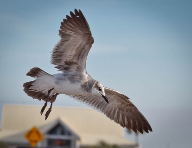 landing-gull